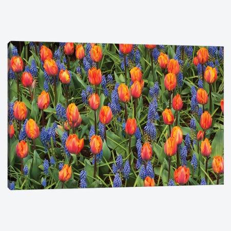Tulip And Grape Hyacinth Flowers, Skagit Valley, Washington Canvas Print #KEV7} by Kevin Schafer Canvas Art Print
