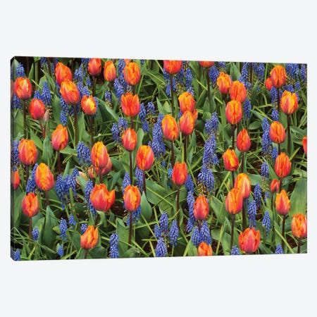 Tulip And Grape Hyacinth Flowers, Skagit Valley, Washington Canvas Print #KEV7} by Kevin Schafer Canvas Art Print