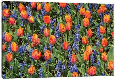 Tulip And Grape Hyacinth Flowers, Skagit Valley, Washington Canvas Art Print