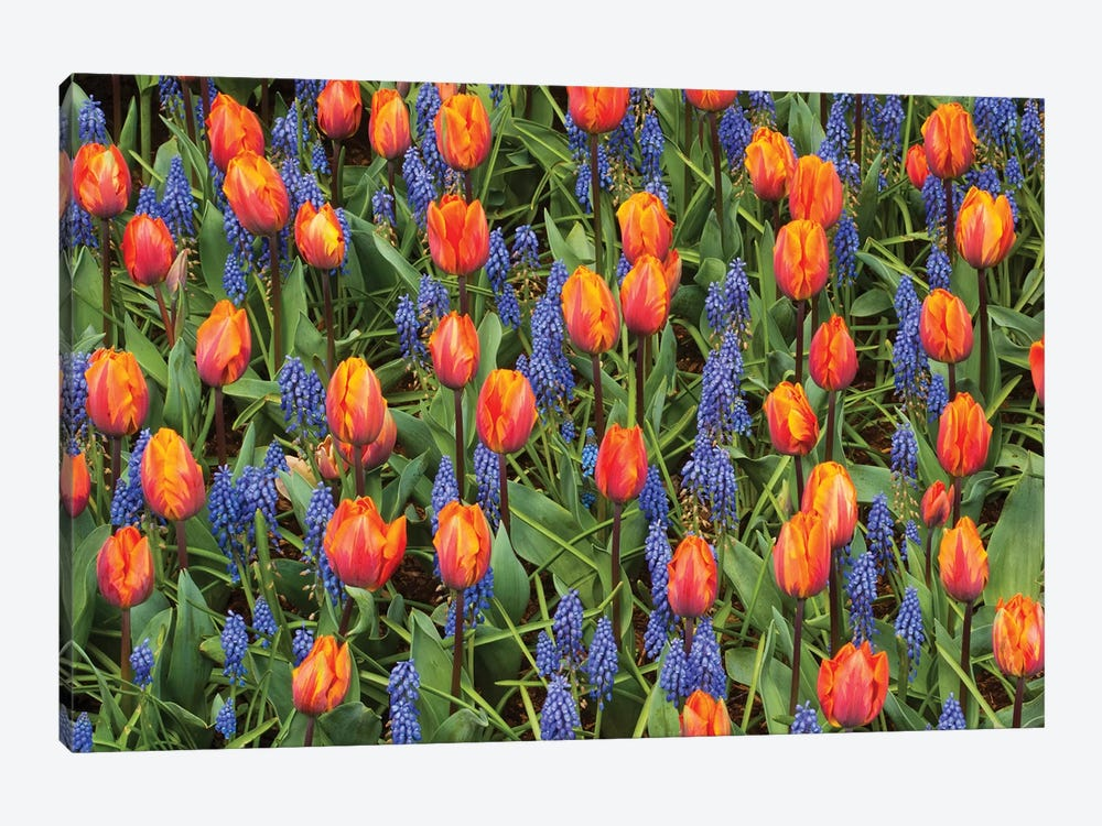 Tulip And Grape Hyacinth Flowers, Skagit Valley, Washington by Kevin Schafer 1-piece Canvas Print