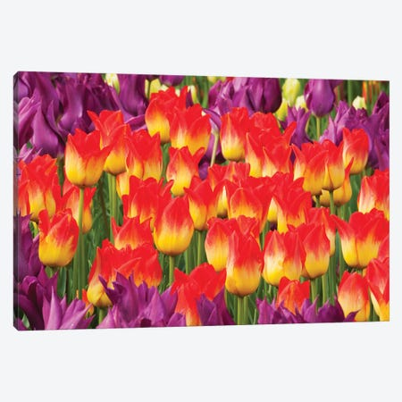 Tulip Flowers, Skagit Valley, Washington Canvas Print #KEV8} by Kevin Schafer Canvas Wall Art