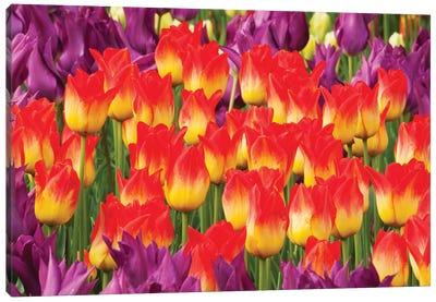 Tulip Flowers, Skagit Valley, Washington Canvas Art Print