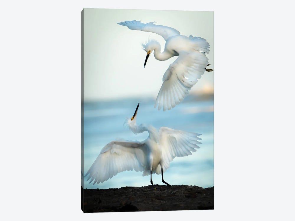 Snowy Egret Tango by Ali Khataw 1-piece Canvas Artwork