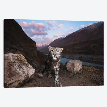 Snow Leopard Wild Female, Sarychat-Ertash Strict Nature Reserve, Tien Shan Mountains, Eastern Kyrgyzstan Canvas Print #KKT3} by Sebastian Kennerknecht Canvas Art