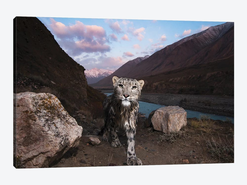 Snow Leopard Wild Female, Sarychat-Ertash Strict Nature Reserve, Tien Shan Mountains, Eastern Kyrgyzstan 1-piece Canvas Art