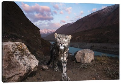 Snow Leopard Wild Female, Sarychat-Ertash Strict Nature Reserve, Tien Shan Mountains, Eastern Kyrgyzstan Canvas Art Print