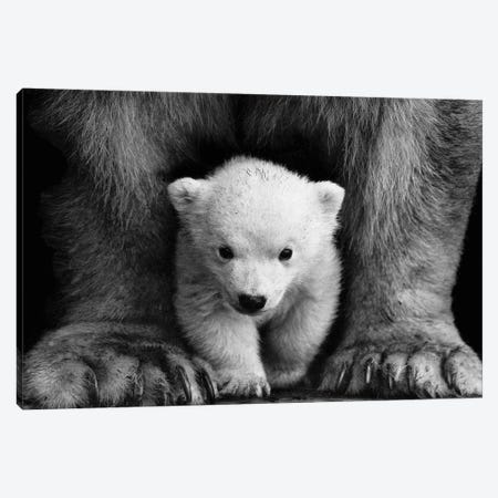 Polar Bear Cub Canvas Print #KMD123} by Karen Mandau Canvas Print