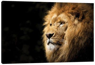 Lion View Canvas Art Print