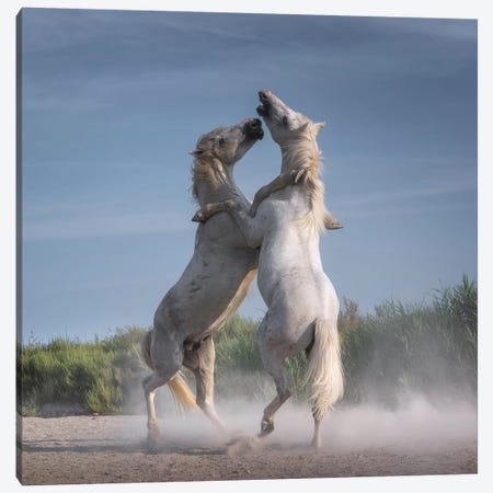 White Angels Of Camargue XXI Canvas Print #KRD138} by Daniel Kordan Canvas Print
