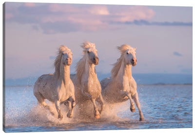 White Angels Of Camargue XXX Canvas Art Print