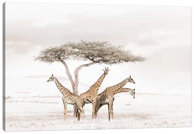 White Giraffes Canvas Art Print