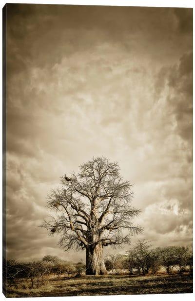 Baobab Hierarchy II Canvas Art Print