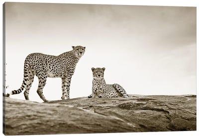 Alert Cheetahs Canvas Art Print