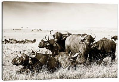 Allied Buffaloes Canvas Art Print