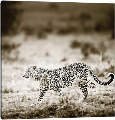 Approaching Leopard Canvas Art Print