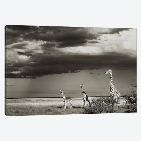 B&W Giraffe Trio Canvas Print #KTI44} by Klaus Tiedge Canvas Artwork