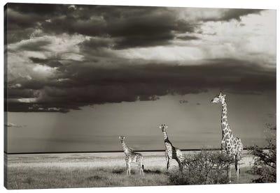B&W Giraffe Trio Canvas Art Print