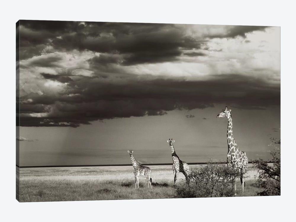 B&W Giraffe Trio by Klaus Tiedge 1-piece Canvas Art