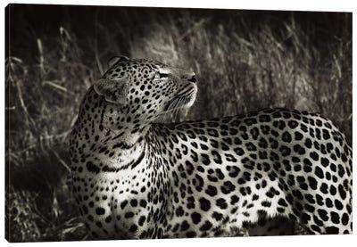 B&W Leopard At Rest Canvas Art Print