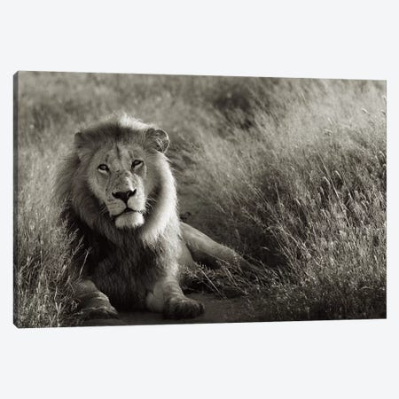 B&W Lion At Rest Canvas Print #KTI47} by Klaus Tiedge Canvas Wall Art