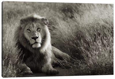 B&W Lion At Rest Canvas Art Print