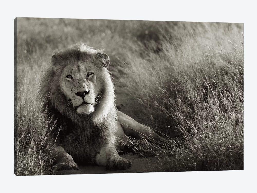 B&W Lion At Rest by Klaus Tiedge 1-piece Canvas Print