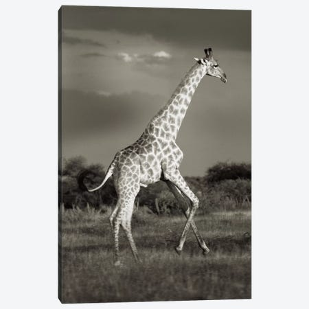 B&W Solitary Giraffe Canvas Print #KTI51} by Klaus Tiedge Canvas Art