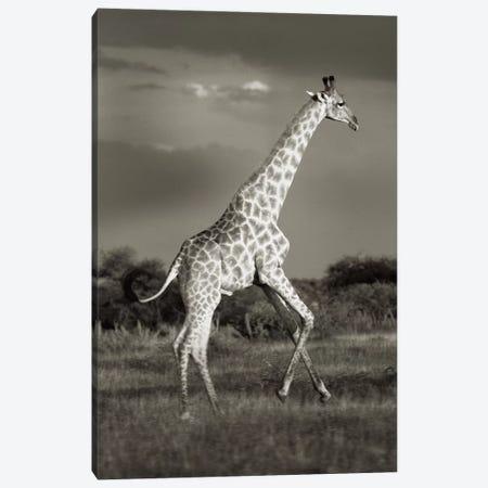 B&W Solitary Giraffe Canvas Print #KTI51} by Klaus Tiedge Canvas Art