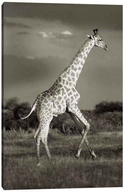 B&W Solitary Giraffe Canvas Art Print