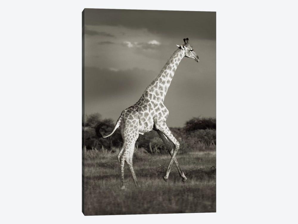 B&W Solitary Giraffe by Klaus Tiedge 1-piece Canvas Wall Art