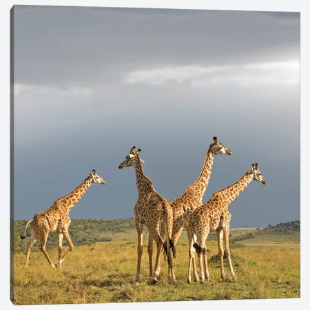 Color Giraffe Herd II Canvas Print #KTI59} by Klaus Tiedge Canvas Artwork