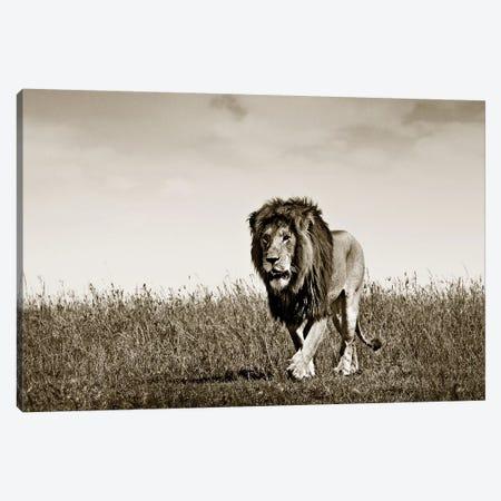 Purposeful Lion Canvas Print #KTI79} by Klaus Tiedge Canvas Artwork