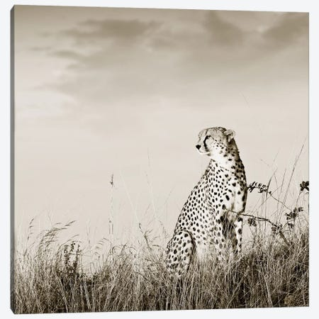 Solitary Cheetah Canvas Print #KTI83} by Klaus Tiedge Art Print