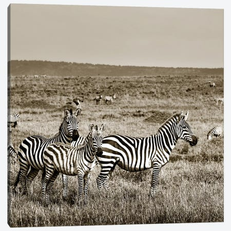 United Zebra family Canvas Print #KTI85} by Klaus Tiedge Canvas Art