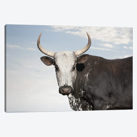 Nguni Cow Black Canvas Print #KTI90} by Klaus Tiedge Canvas Artwork