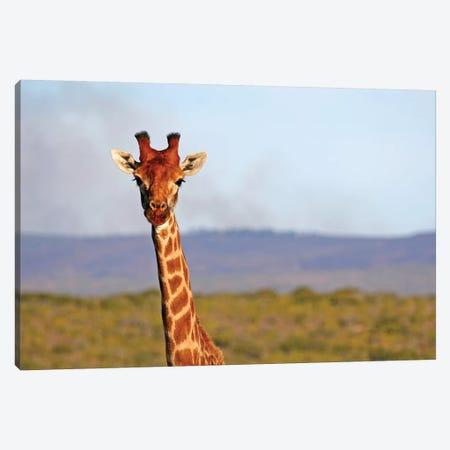 South Africa, Kwandwe. Maasai Giraffe In Kwandwe Game Reserve. 3-Piece Canvas #KYM5} by Kymri Wilt Art Print
