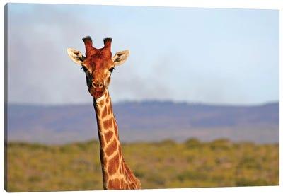 South Africa, Kwandwe. Maasai Giraffe In Kwandwe Game Reserve. Canvas Art Print