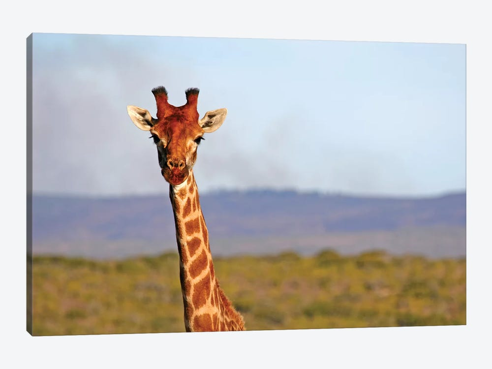 South Africa, Kwandwe. Maasai Giraffe In Kwandwe Game Reserve. by Kymri Wilt 1-piece Canvas Art Print