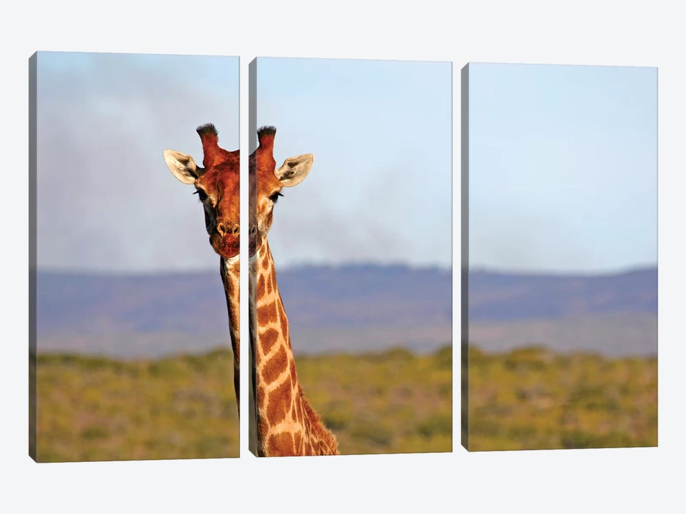South Africa, Kwandwe. Maasai Giraffe In Kwandwe Game Reserve. by Kymri Wilt 3-piece Art Print