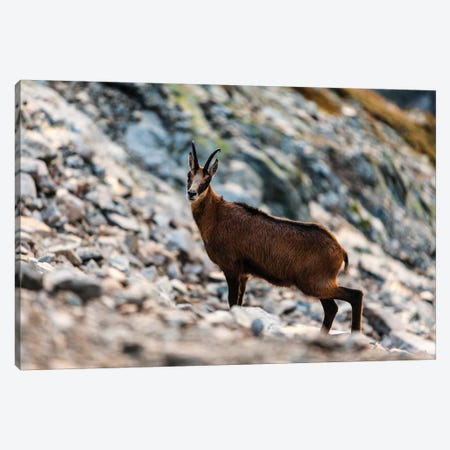 Poland, Tatra Mountains, Mountain Chamois Canvas Print #LAJ118} by Mikolaj Gospodarek Canvas Wall Art