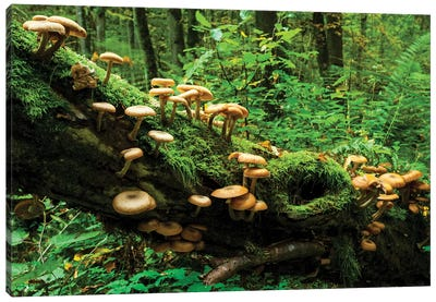 Bialowieza Forest, Mushrooms, Poland Canvas Art Print