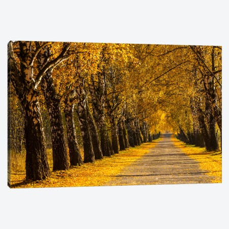 Poland, Birch Alley Canvas Print #LAJ57} by Mikolaj Gospodarek Canvas Print
