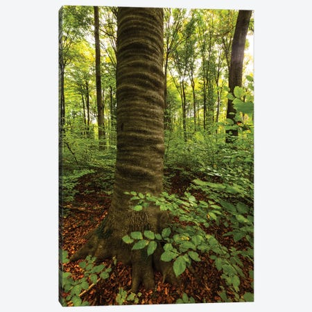 Poland, Lubelskie, Roztocze National Park, Beech Tree Canvas Print #LAJ71} by Mikolaj Gospodarek Canvas Artwork