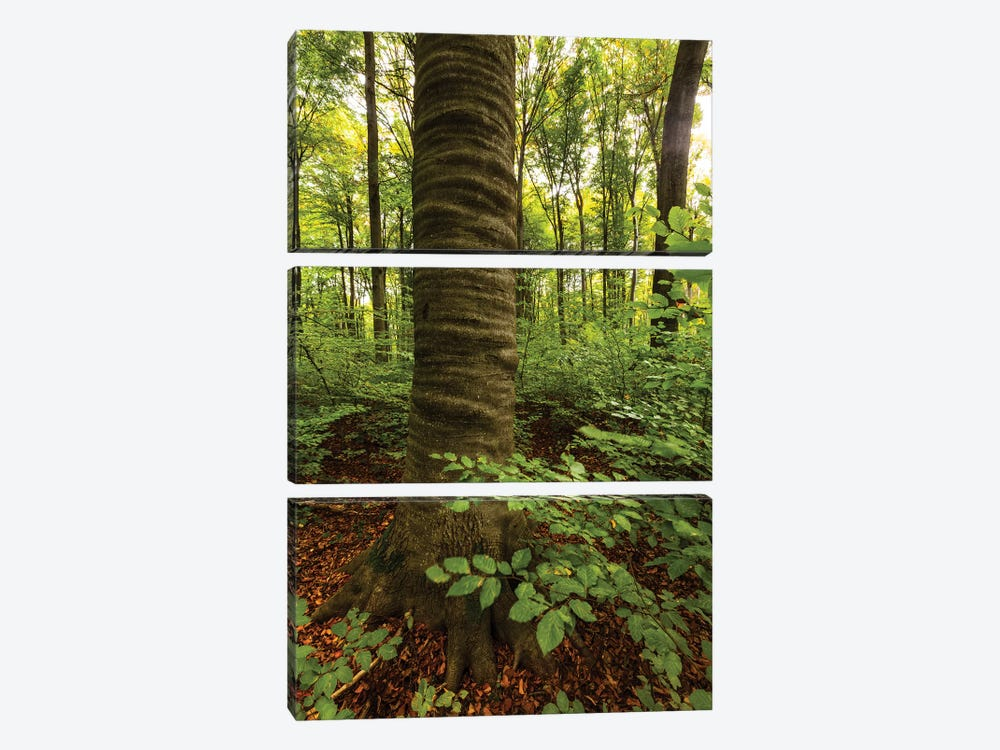 Poland, Lubelskie, Roztocze National Park, Beech Tree 3-piece Canvas Wall Art