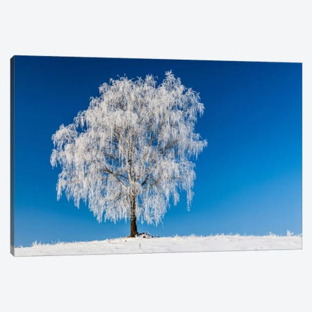 Poland, Podlaskie, Winter, Birch Tree Canvas Print #LAJ78} by Mikolaj Gospodarek Canvas Artwork