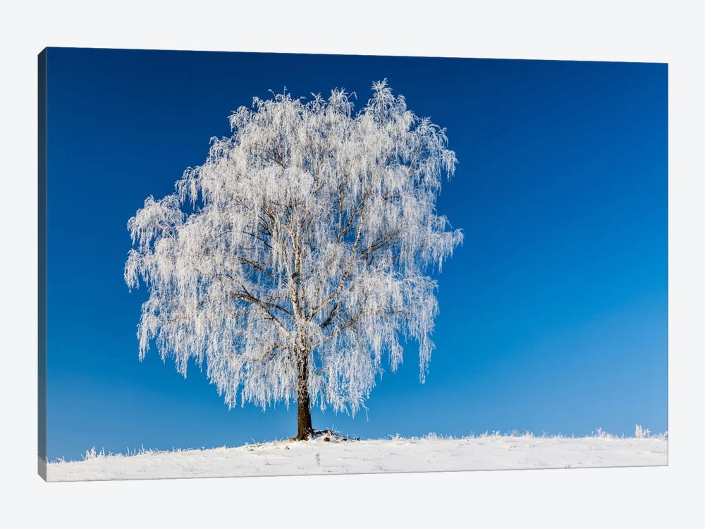 Poland, Podlaskie, Winter, Birch Tree 1-piece Art Print