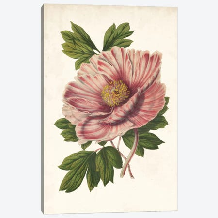 Striking Peony  Canvas Print #LBH2} by Louis Benoît van Houtte Canvas Art Print