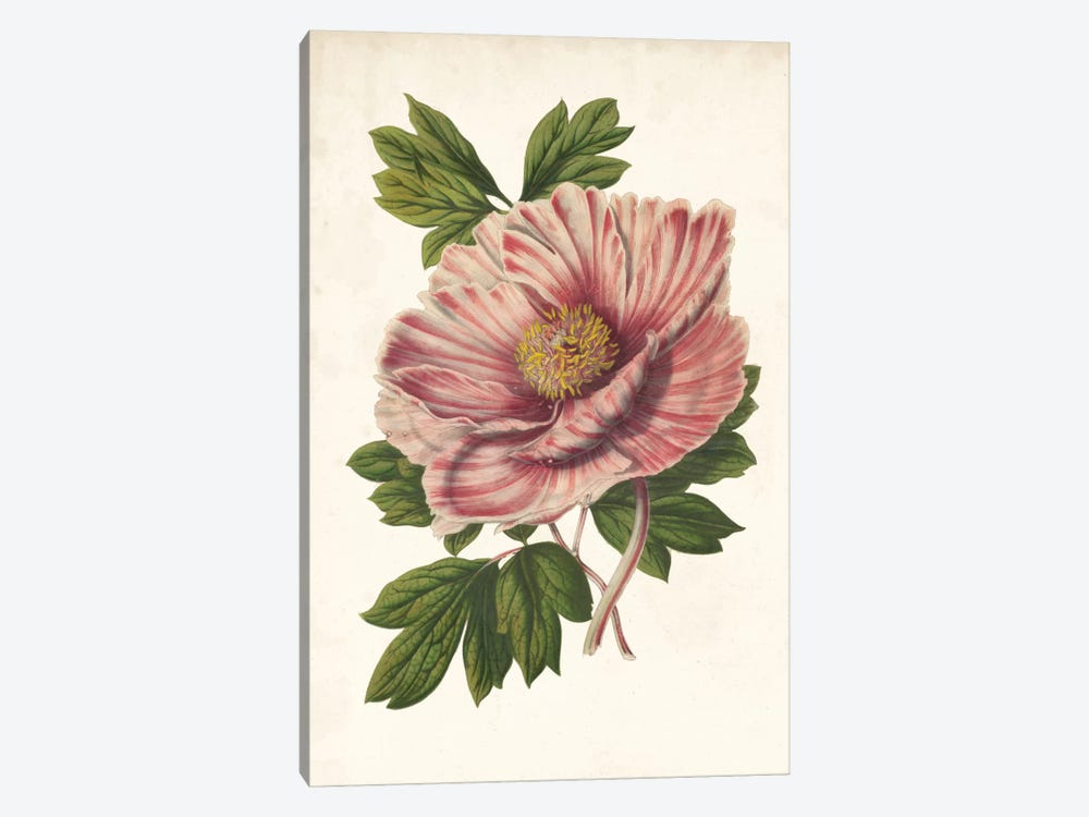 Striking Peony  by Louis Benoît van Houtte 1-piece Art Print