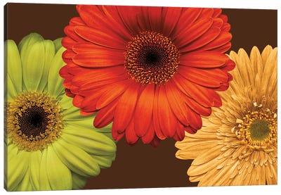 Daisy Trio Canvas Print #LBL3