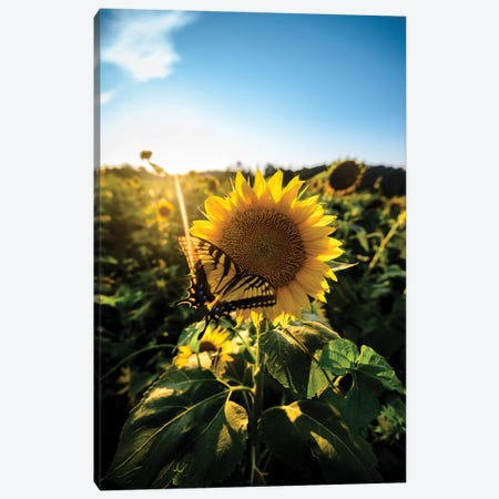 Sunflower Love Canvas Print #LCS91} by Lucas Moore Canvas Wall Art
